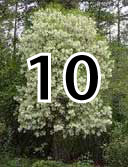 white fringe tree page 10